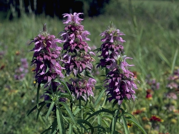 lemon-beebalm-new