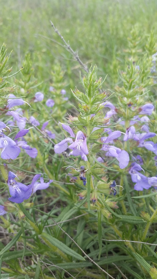 salvia-engelmannii-new