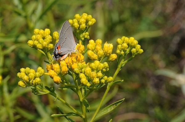 shiny-goldenrod-with-gray-hair-new