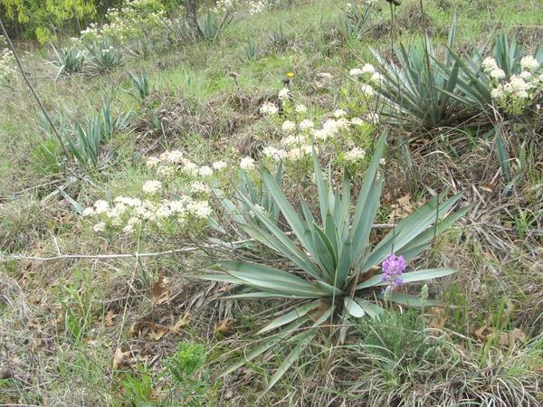 yucca-pallida---pale-yucca-new